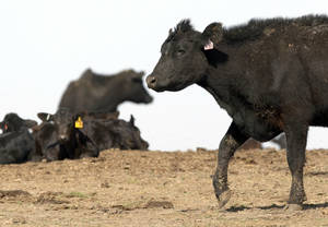 Photo - A herd of cows is shown in DeWitt, Neb. AP Photo
