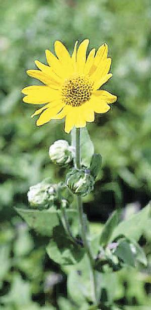 Photo - Scientists are seeking help to study sunflowers and bees. OKLAHOMAN ARCHIVE PHOTO