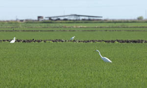 Photo -   In this photo taken June, 19, 2012, , a Great Egret, foreground right, feeds in a rice field near Williams, Calif. More than 165 California rice farmers have signed up for an incentive program, funded by a $2 million US. Natural Resources Conservation Service, to make habitat improvements in their rice paddies to provide migratory and water birds a place to stop, feed and breed.(AP Photo/Rich Pedroncelli)