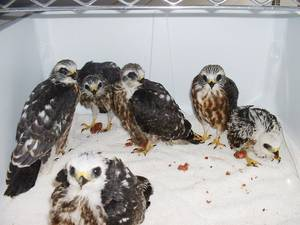 Photo - Mississippi Kites under the care of WildCare Foundation in Noble. Provided.