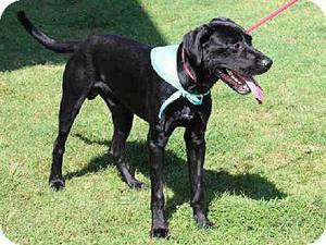 Photo - Colt is a 2-year-old black lab. He would enjoy a large yard to play in and would do great with an active family. For a running companion, stop by the Edmond Animal Welfare shelter. Colt weighs about 70 pounds.