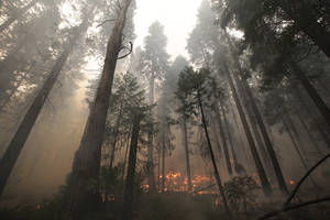 Photo - The Rim Fire burns through trees near Yosemite National Park, Calif., on Tuesday, Aug. 27, 2013. Firefighters gained some ground Tuesday against the huge wildfire burning forest lands in the western Sierra Nevada, including parts of Yosemite National Park. (AP Photo/Jae C. Hong)