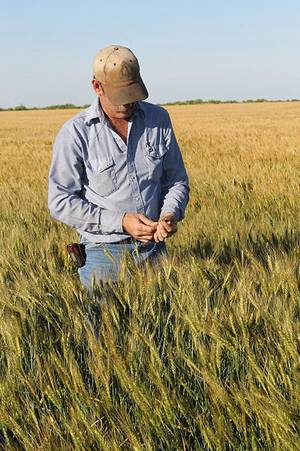 Photo - After very tough drought conditions late into 2011, Terral Tatum of Grandfield this week looks through his wheat. Tatum said it has a lot of promise with this year's wheat harvest likely less than a month away for him. <strong>PROVIDED - Christy Tatum</strong>