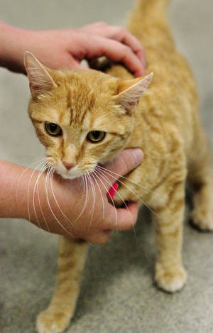 Photo - This cat at the Oklahoma City Animal Shelter on Monday needs a home. Photo by Jim Beckel, The Oklahoman