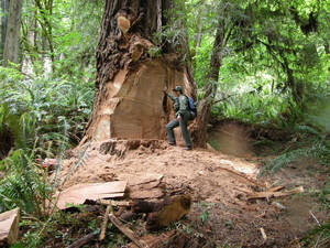 Photo - This May 21, 2013 photo provided by the National Park Service shows wildlife biologist Terry Hines standing next to a massive scar on an old growth redwood tree in the Redwood National and State Parks near Klamath, Calif., where poachers have cut off a burl to sell for decorative wood. The park recently took the unusual step of closing at night a 10-mile road through a section of the park to deter thieves. (AP Photo/Redwood National and State Parks, Laura Denn)