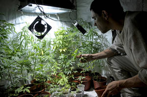 photo -   Juan Vaz, activist and marihuana grower, shows marihuana plants he is growing with some friends in Montevideo, Uruguay,Wednesday, Nov. 14, 2012. Uruguayans used to call their country the Switzerland of Latin America, but its faded grey capital seems a bit more like Amsterdam now that its congress has legalized abortion and is drawing up plans to sell government-grown marijuana. (AP Photo/Matilde Campodonico)