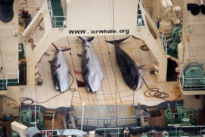 Photo - FILE - In this file photo taken on Sunday, Jan. 5, 2014 and supplied by Sea Shepherd Australia on Monday, Jan. 6, 2014, three dead minke whales lie on the deck of the Japanese whaling vessel Nisshin Maru, in the Southern Ocean. The International Court of Justice is ruling Monday on Japan's whaling program in Antarctic waters, in a case brought by Australia. Japan hunts around a thousand mostly minke whales annually in the icy waters of the Southern Ocean as part of what it calls a scientific program. Australia and environmental groups say the hunt serves no scientific purpose and is just a way for Japan to get around a moratorium on commercial whaling imposed by the International Whaling Commission in 1986. (AP Photo/Tim Watters, Sea Shepherd Australia) EDITORIAL USE ONLY, NO SALES