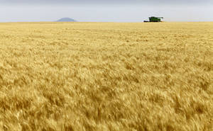 Photo - Josh Gammill harvests wheat in a field near Faxon.  <strong>David McDaniel - The Oklahoman</strong>