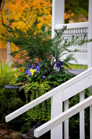 photo - This urn filled with yew as the thriller plant, pansies as a blooming filler and Goldilocks lysimachia as a showy filler, welcomes visitors to the Columbus Botanical Garden in Columbus, Georgia. (MCT)