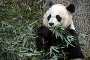 Photo -   FILE - In this Dec. 19, 2011 file photo, Mei Xiang, the female giant panda at the Smithsonian's National Zoo in Washington, eats breakfast. Mei Xiang has given birth to a cub following five consecutive pseudopregnancies in as many years. (AP Photo/Susan Walsh)