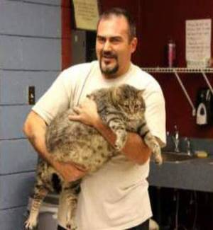 "Photo - This undated photo released by the Maricopa County Animal Care & Control shelter, shows shelter personnel holding ""Meatball"", a 36-pound cat in Phoenix. ""Meatball"" is temporarily staying in an office at the shelter because he's too large to fit into a standard kennel.  The shelter is trying to place him with a rescue organization that helps overweight cats. (AP Photo/Maricopa County Animal Care & Control)"