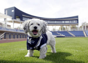 "Photo - In this Feb. 22, 2014 photo, Milwaukee Brewers mascot, Hank, is at the team's spring training baseball practice in Phoenix. The team has unofficially adopted the dog and assigned the name ""Hank"" after baseball great Hank Aaron. (AP Photo/Rick Scuteri)"