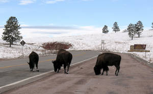 Photo - This undated photo provided by the National Park Service People shows bison walking on a road near the south entrance road to Wind Cave National Park in southwestern South Dakota. Officials at the park are taking steps to reduce the number of bison killed by motor vehicles after a rash of deaths this year. Fourteen bison have been confirmed killed in crashes in 2013, with six of those deaths happening in the last three months. (AP Photo/Courtesy of the National Park Service)