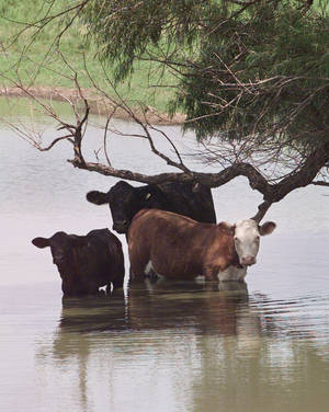 Photo - Cows keep cool east of Pond Creek.  Photo by Steve Gooch, The Oklahoman archive. <strong>STEVE GOOCH</strong>