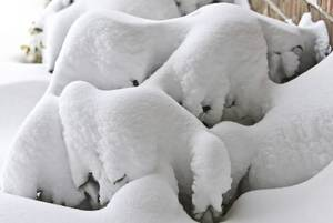 Photo - Snow piled up on plant outside a home on Tuesday, Feb. 2, 2011, Oklahoma City, Okla. Photo by Chris Landsberger