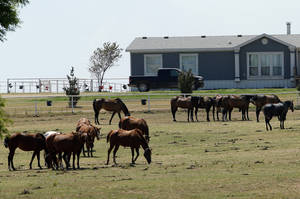 photo - Horses graze Friday at Zule Farms, a Lexington ranch whose owners are accused of ties to a Mexican drug cartel. A judge in Texas has ruled the federal government can sell the almost 400 horses at the ranch. Photo by Steve Sisney, The Oklahoman <strong>STEVE SISNEY</strong>