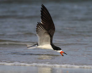 Photo - This 2011 image provided by Jeff Lewis shows a black skimmer at the north end of Pea Island National Wildlife Refuge, located on the north end of Hatteras Island, N.C. The refuge is home to 400 species of birds and offers a variety of free educational programs. (AP Photo/Jeff Lewis Photography)