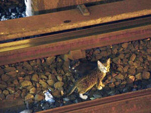 Photo - In this Aug. 29, 2013 photo provided by the Metropolitan Transportation Authority in New York, two kittens stand between the rails on subway tracks in the Brooklyn borough of New York. Power was cut to the tracks as transit workers tried to remove the kittens from the tracks but they ran away. Officials say workers and passengers are on the lookout for them and train operators are being asked to proceed with caution. (AP Photo/Metropolitan Transit Authority)