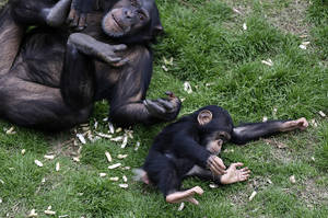 photo - An adult chimp plays with a young chimp at Chimp Haven in Keithville, La., Monday, Feb. 18, 2013. One hundred and eleven chimpanzees will be coming from a south Louisiana laboratory to Chimp Haven, the national sanctuary for chimpanzees retired from federal research. (AP Photo/Gerald Herbert)