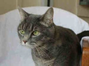 photo - Claudia is a mild-mannered cat who enjoys having her ears rubbed and her back scratched. Claudia is 7 years old and weighs about 10 pounds. She is at the Edmond Animal Welfare Shelter.  PHOTO PROVIDED