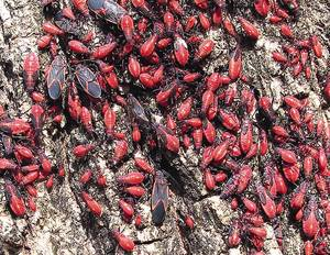 photo - The boxelder bug is found mostly on female (seed-bearing) boxelder trees.  The Oklahoman Archives. <strong>RICK ROBINSON</strong>