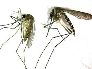 Photo - This undated photo provided by the Northwest Mosquito Abatement District shows a Culex pipiens, left, the primary mosquito that can transmit West Nile virus to humans, birds and other animals. (AP Photo/courtesy the Northwestern Mosquito Abatement District)