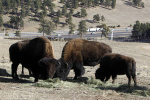 photo - This photo taken on Dec. 7, 2012 shows bison feeding at the Buffalo Herd Overlook west of Denver. They're kept behind fences about 20 miles west of town on Interstate 70, where an overlook near Exit 254 offers great opportunities to photo the creatures with the Rocky Mountains on the horizon. Interstate 70 can be seen in the distance. (AP Photo/Ed Andrieski)