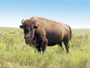Photo - Bison roam the Tallgrass Prairie Preserve in Pawhuska
