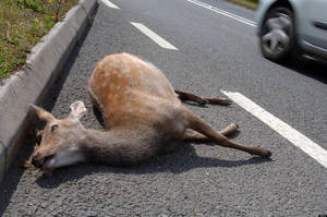 photo - AMXKR3 Deer killed on side of road, Dead deer on road, roadkill, Britain UK