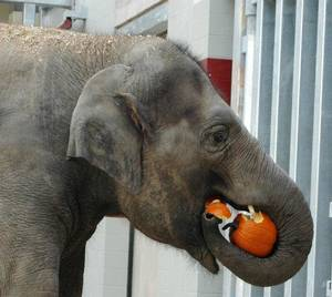 Photo - Chandra eats a pumpkin in the new elephant barn at the Oklahoma City Zoo on Oct. 18, 2010. The elephants sometimes receive treats like pumpkins that are mentally stimulating as well as tasty. <strong>Jennifer D'Agostino - PHOTO PROVIDED BY THE OKLAHOMA C</strong>