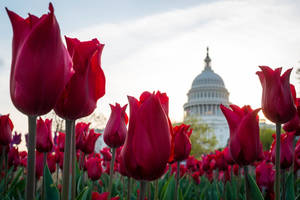 Photo - In this April 22, 2014, photo, tulips bloom in front of the Capitol in Washington. Congress gets back to work Monday, April 28, after a two-week vacation, and it's looking like lawmakers will do what they do best: the bare minimum. Forget immigration, a tax overhaul, stiffer gun checks. They're all DOA. Raising the minimum wage or restoring lost unemployment benefits? Not going to happen. Forcing government approval of the Keystone XL pipeline? Veto bait.  (AP Photo/J. David Ake)