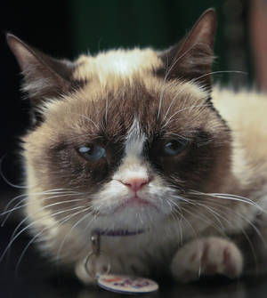 Photo - Grumpy Cat, an Internet celebrity cat whose real name is Tardar Sauce, is photographed on Friday April 4, 2014 in New York. Known for her facial expression, her owner Tabatha Bundesen says that Grumpy Cat's permanently grumpy-looking face is due to feline dwarfism.  (AP Photo/Bebeto Matthews)