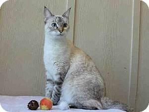 photo - Aphrodite is a beautiful Siamese mix who likes attention on her terms. She has lots of spunk and does not care to be held for long periods. Aphrodite is 6 years old and weighs about 7 pounds. She is at the Edmond Animal Welfare Shelter.