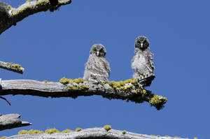 Photo -   In this July 2012 photo released by the National Park Service, two juvenile Great Gray Owls are shown on a tree branch in Yosemite National Park. The unique Great Gray Owls of Yosemite National Park, left to evolve after glacial ice separated them from their plentiful Canadian brethren 30 millennia ago, are both a mystery and concern to the scientists charged with protecting them. (AP Photo/National Park Service)