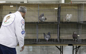 Photo - Show King pigeon Judge Jim Murphy, of London Mills, Illinois, looks over the entrants in their cages at the Grand National Pigeon Show in Oklahoma City, Friday, Jan. 17, 2014. (AP Photo/Sue Ogrocki)