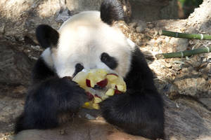 Photo -   The National Zoo's giant panda Tian Tian eats a frozen fruit treat at zoo in Washington, Thursday, Oct. 11, 2012. The zoo announced Thursday that the recent death of Tian Tian and Mei Xiang's cub was due to liver and lung damage. (AP Photo/Jacquelyn Martin)