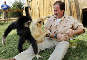 Photo - Bill Meadows of Tiger Safari plays with Marley, left, and Teeka, his two newly acquired gibbon apes. <strong>STEVE SISNEY</strong>