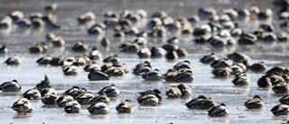 Hundreds of waterfowl gather on the frozen Oklahoma City Zoo lake, Monday January 6, 2014. Over 10 species of waterfowl were spotted on the lake Monday afternoon. Photo By Steve Gooch, The Oklahoman