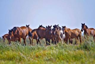 Wild horses owned by the U.S. Bureau of Land Management live out their lives on John Hughes' land in Catoosa. CHRIS LANDSBERGER