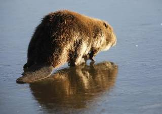 A beaver walks on the ice at Arcadia Lake today. Photo by David McDaniel