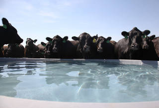 In this July 19, 2012 photo, a herd of cattle belonging to Kendal Grecian drink from a water tank at his ranch in Palco, Kan. Grecian spent years meticulously breeding his cows to improve the genetics in each generation, but with Kansas in one of the worst droughts seen in decades, he's struggling to find enough grazing to feed 300 cows, plus their calves. He hopes to get by with selling only a quarter of his herd, but there are no guarantees with the drought expected to linger through October. (AP Photo/John L. Mone) ORG XMIT: RPJM101