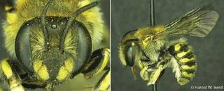 A researcher from Southwestern Oklahoma State University discovered the Anthidium michenerorum, a species of Oklahoma bee. PHOTO PROVIDED