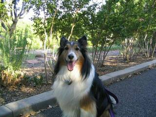 "The Siglers are grateful for their ""ball of energy"" sheltie, Casey. Photo provided"