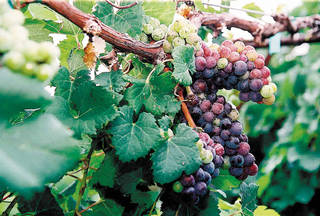 Some of the grapes grown at Woodland Park, one of Oklahoma's newest wineries, on the outskirts of Stillwater.