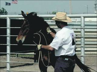 A wild horse stands warily as a prisoner at Hutchinson Correctional Facility pats the animal, one of the first steps in gentling horses. Some of the captured, trained mustangs are adopted by the U.S. Border Patrol to tighten security along the U.S.-Mexico border. PHOTO PROVIDED BY HUTCHINSON CORRECTIONAL FACILITY