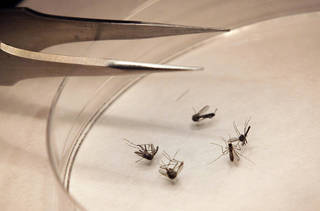 Mosquitos are sorted at The Dallas County mosquito lab on Aug. 16 in Dallas. U.S. health officials say there's been an alarming increase in the number of West Nile cases. So far there have been nearly three times as many as usually seen at this point in the year. Most West Nile infections are reported in August and September. AP Photo