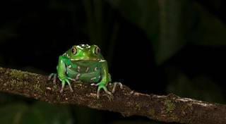 A performance-enhancing drug that can be drawn from the back of a waxy monkey tree frog, shown above, was used to rig races at Remington Park. PHOTO PROVIDED