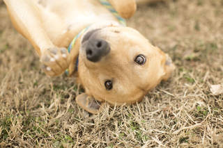 """The Oklahoma City Animal Shelter is having a special event, """"Furever Love,"""" a Valentine's week special from Feb. 8-15. Adoption fees for dogs and cats will be reduced to $30. Andy is a 1-year-old, 40-pound Labrador mix. He is quiet and well-mannered and is a good playmate with other dogs. His shelter number is 161125. All pets are spayed or neutered and have age-appropriate shots and a health check. The shelter is at 2811 SE 29 and is open for adoptions seven days a week from noon until 5:45 p.m. For more information, go online to www.okc.petfinder.com or www.okc.gov. PHOTO PROVIDED"""