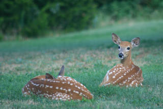 Fawns rest on the Washita National Wildlife Refuge in western Oklahoma. State wildlife officials say it's best to leave young wildlife alone. Does often leave their fawns to go feed but will return for their babies. Photo provided USFWS/Amber Zimmerman