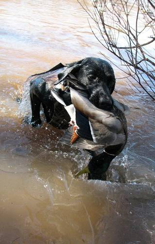 Will, a black Labrador owned by Hal McKnight of Oklahoma City, retrieves a duck from a pond. Photo by Hal McKnight